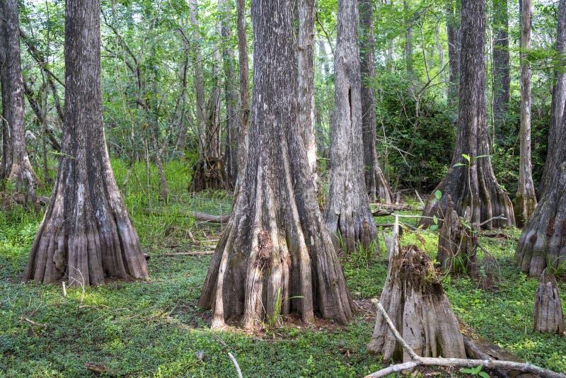 Большой заповедник Флорида Cypress национальный стоковое изображение rf