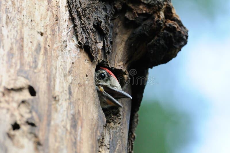 Большой запятнанный цыпленок Woodpecker в полости гнезда стоковое фото rf