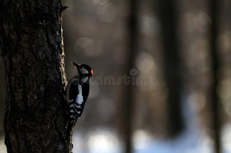 Большой запятнанный Woodpecker в темном лесе стоковые фото