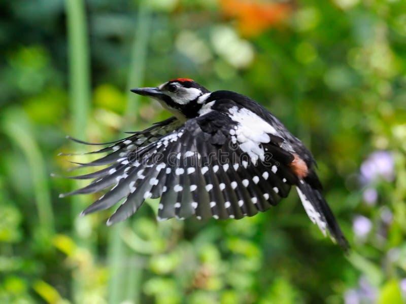 Большой запятнанный Woodpecker летая на яркой предпосылке стоковая фотография rf
