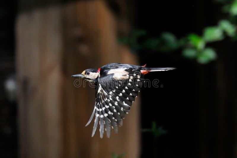 Большой запятнанный Woodpecker летая стоковое изображение