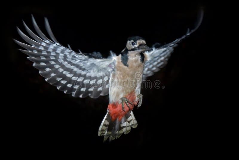 Большой запятнанный Woodpecker летая стоковая фотография