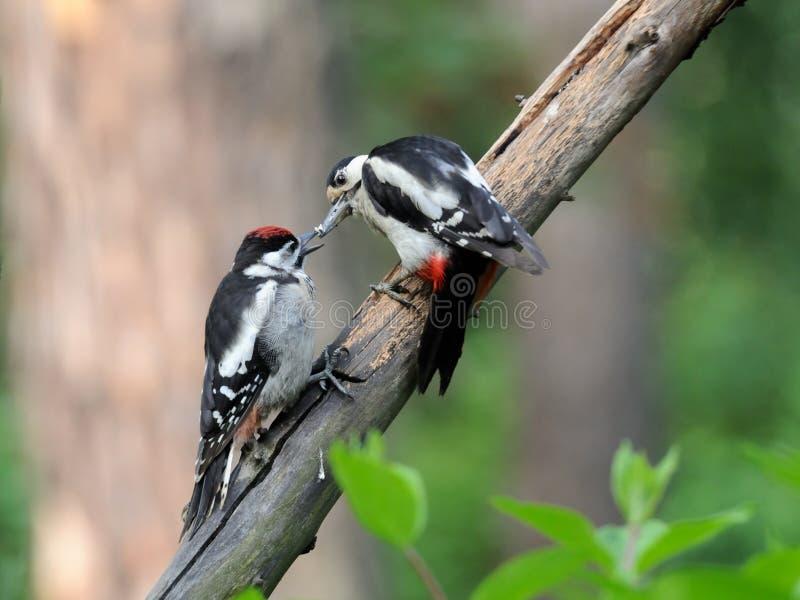 Большой запятнанный Woodpecker подает цыпленок стоковые изображения