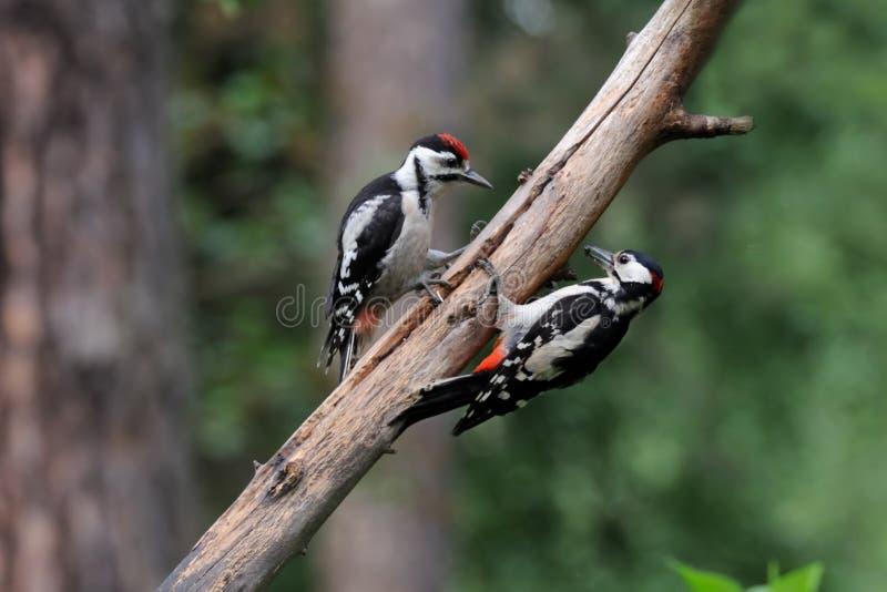 Большой запятнанный Woodpecker подает цыпленок стоковые изображения rf