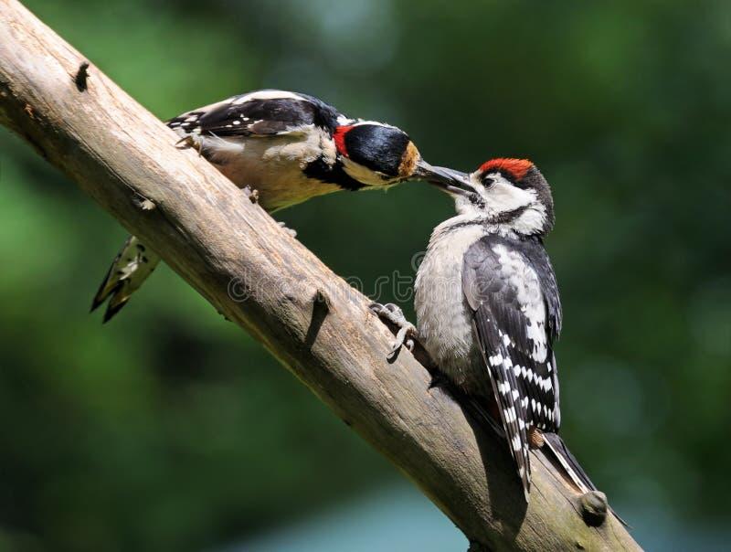 Большой запятнанный Woodpecker подает цыпленок стоковое изображение rf
