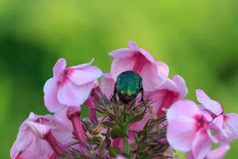 Большой зеленый скарабей или розовый жук-чефер или Cetonia на цветках флокса, конец вверх с селективным фокусом стоковая фотография