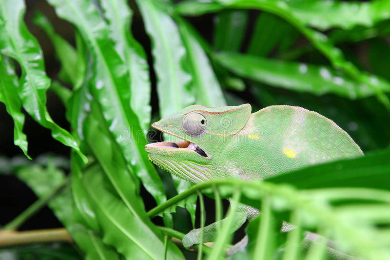 Большой зеленый хамелеон камуфлирует посреди gre стоковая фотография rf