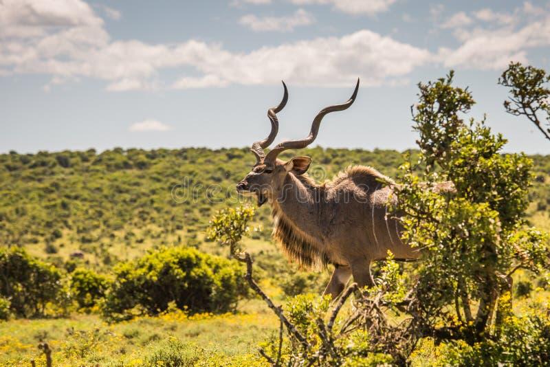Большой конец-вверх kudu, Южная Африка стоковая фотография