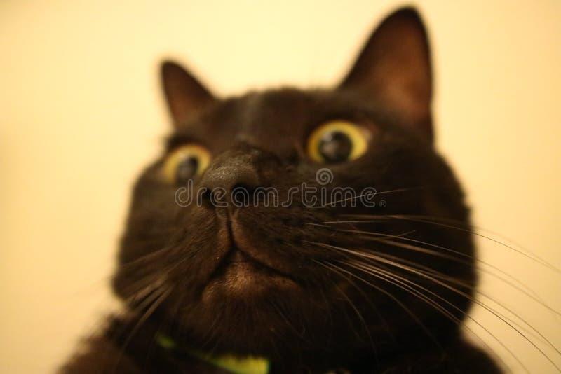большой кот носа стоковые фотографии rf