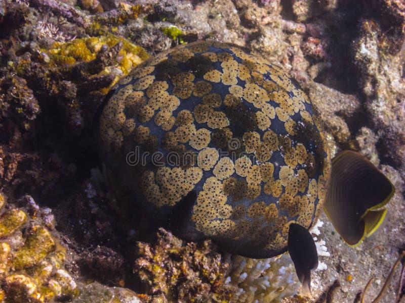 большой красивый круглый коралл стоковая фотография rf