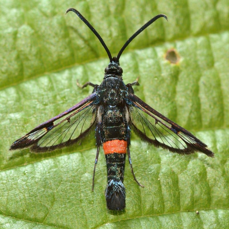 Большой красно-подпоясанный clearwing (culiciformis Synanthedon) сверху стоковое изображение