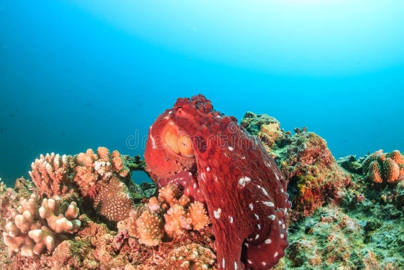 Большой красный осьминог на коралловом рифе стоковые изображения rf