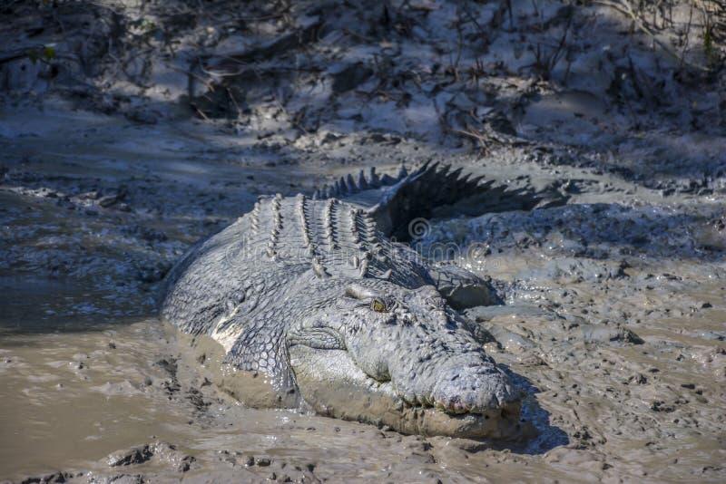 Большой крокодил назвал 'Брута' около реки Аделаиды, национального парка Kakadu, Дарвина, Австралии стоковое изображение rf