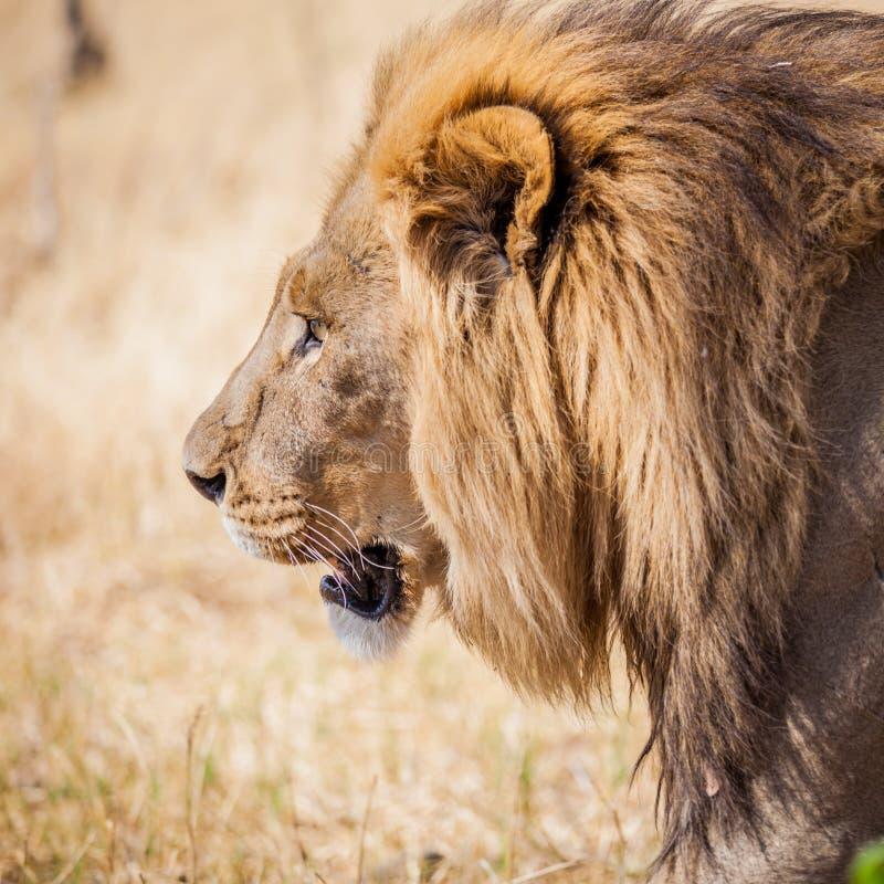 Большой мужской лев на рысканье в злаковиках Африки стоковые изображения rf