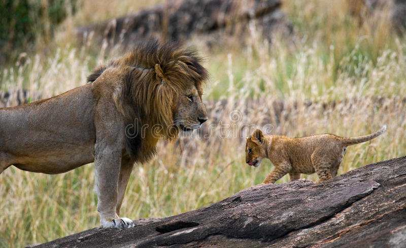 Большой мужской лев с новичком Национальный парк Кения Танзания masai mara serengeti стоковое фото rf