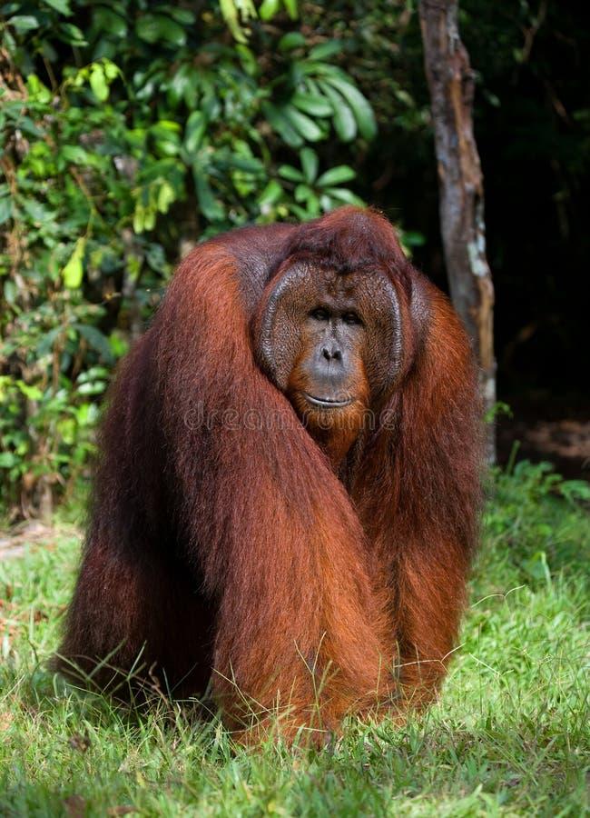 Большой доминантный мужчина сидя на траве Индонезия Остров Kalimantan Борнео стоковые изображения