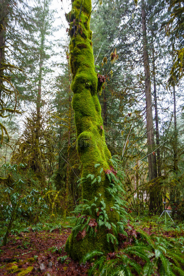 Большой папоротник покрыл дерево стоковая фотография rf