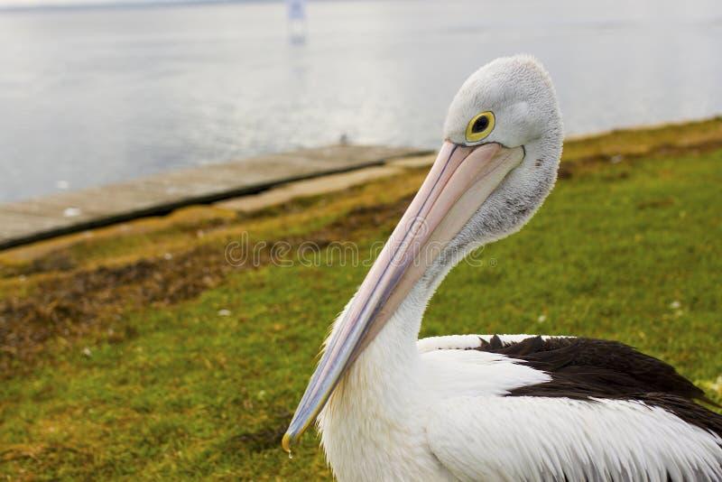 Большой пеликан около воды стоковое изображение
