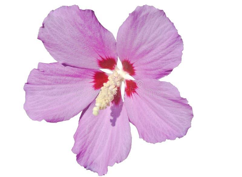 Большой пинк цветка стоковая фотография