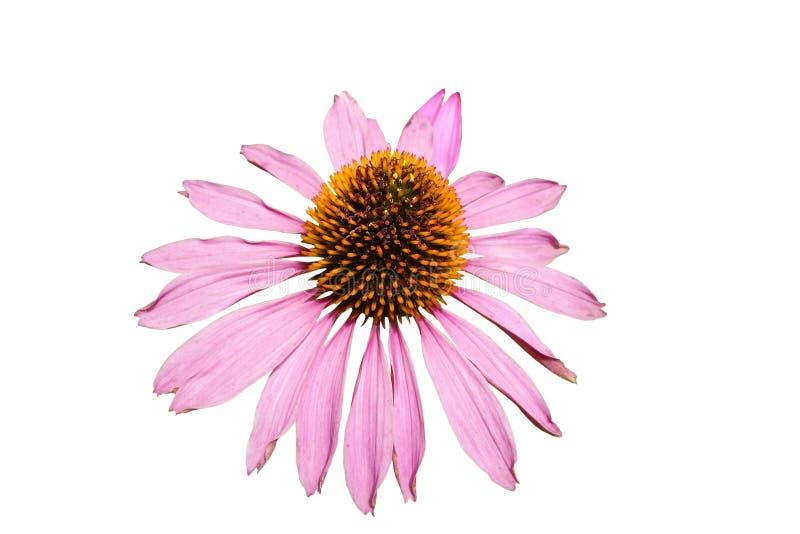 Большой пинк цветка стоковые фото