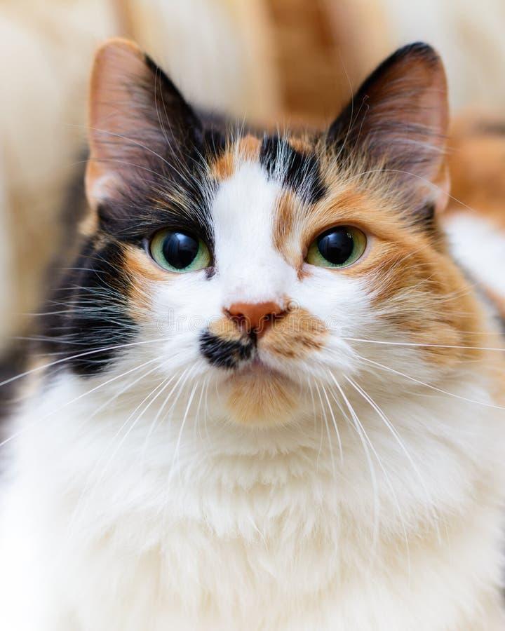 Большой портрет красивого белого и красного кота стоковые фото