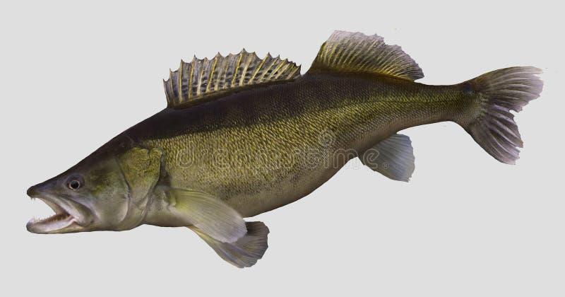 Большой портрет рыбной ловли Zander иллюстрация штока