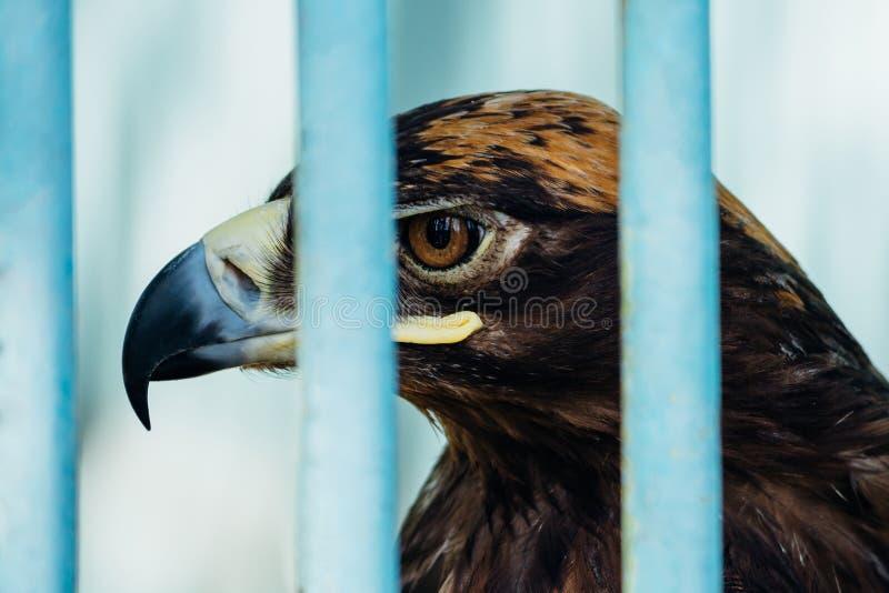 Большой портрет хоука который сидит в клетке стоковые фото