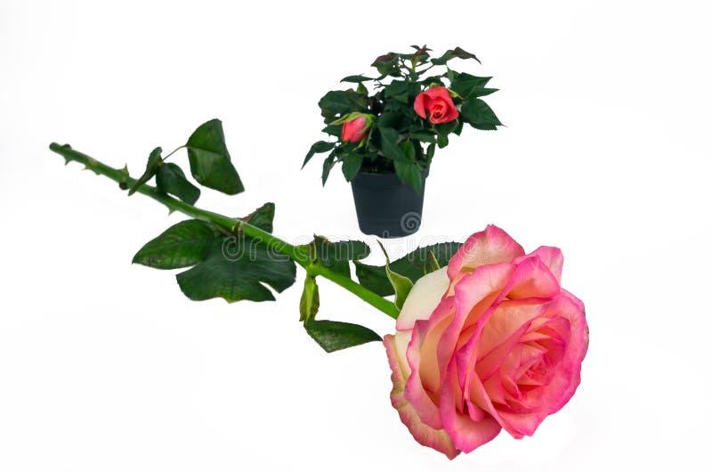 Большой поднял на предпосылку миниатюрных роз в реальном маштабе времени в баках стоковые фотографии rf