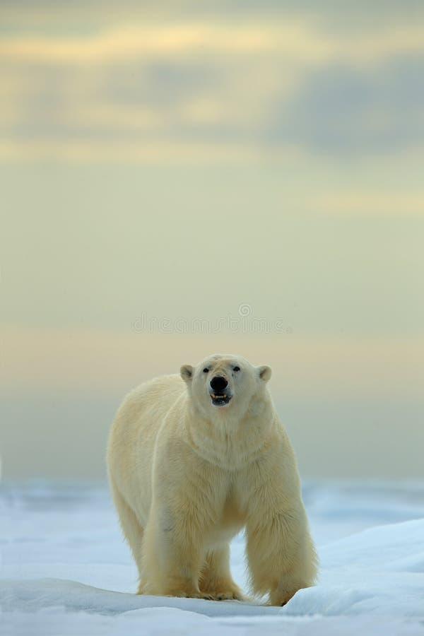 Большой полярный медведь на льде смещения с снегом в ледовитом Свальбарде стоковое фото