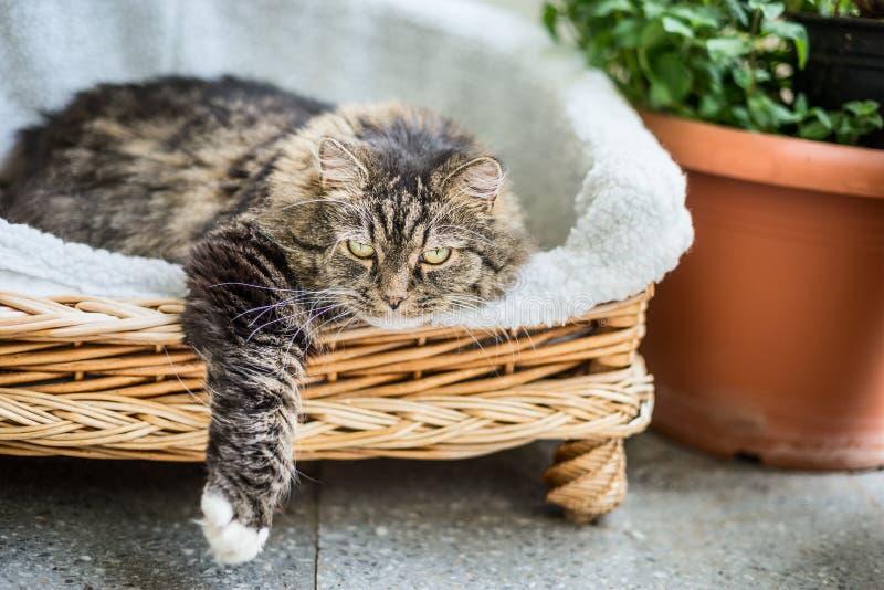 Большой пушистый кот лежа в плетеном кресле софы фаэтона на террасе балкона или сада стоковые изображения rf