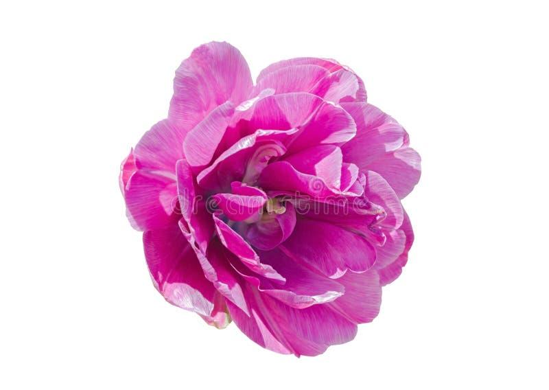 Большой розовый цветок леса на белизне стоковое фото