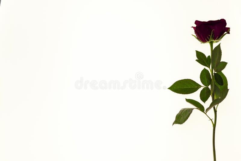 Большой свежий цветок красной розы на белой предпосылке Предпосылка для поздравительной открытки с местом для текста стоковые изображения