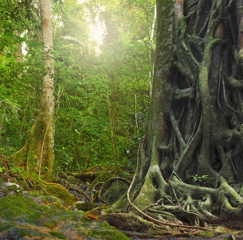 Большой старый ствол дерева с корнями в дождевом лесе стоковые фотографии rf