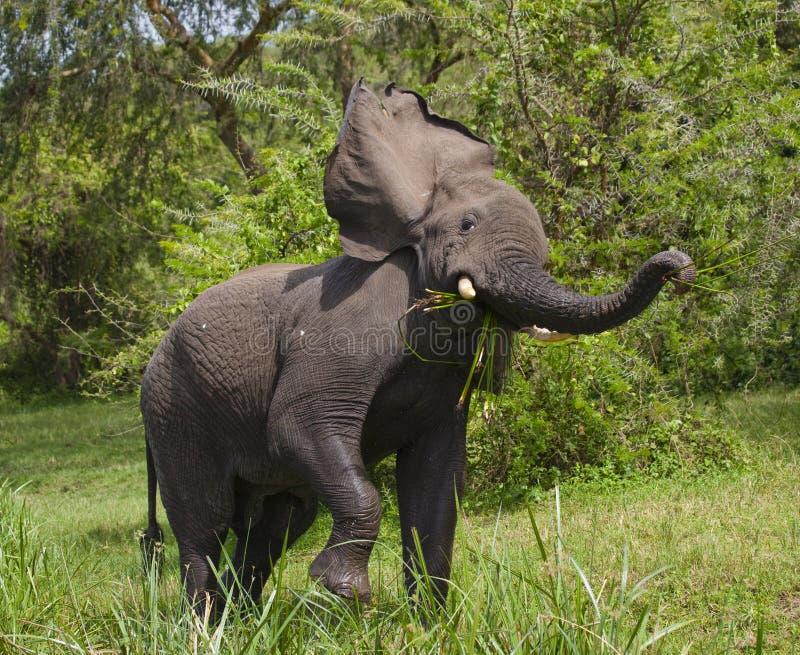 Большой слон стоя в воде и сердитый вышесказанного Кения Танзания serengeti Maasai Mara стоковые изображения rf