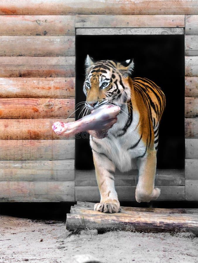 Большой тигр Амура стоковое изображение