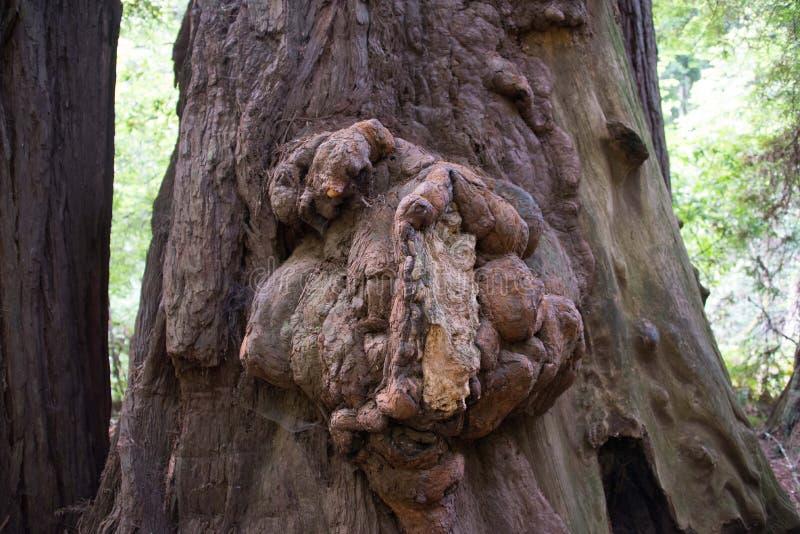Большой узелок redwood, древесины Muir, Калифорния стоковое изображение