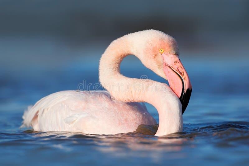 Большой фламинго летая, ruber Phoenicopterus, розовая большая птица с ясным голубым небом, Camargue, Францией стоковые изображения rf
