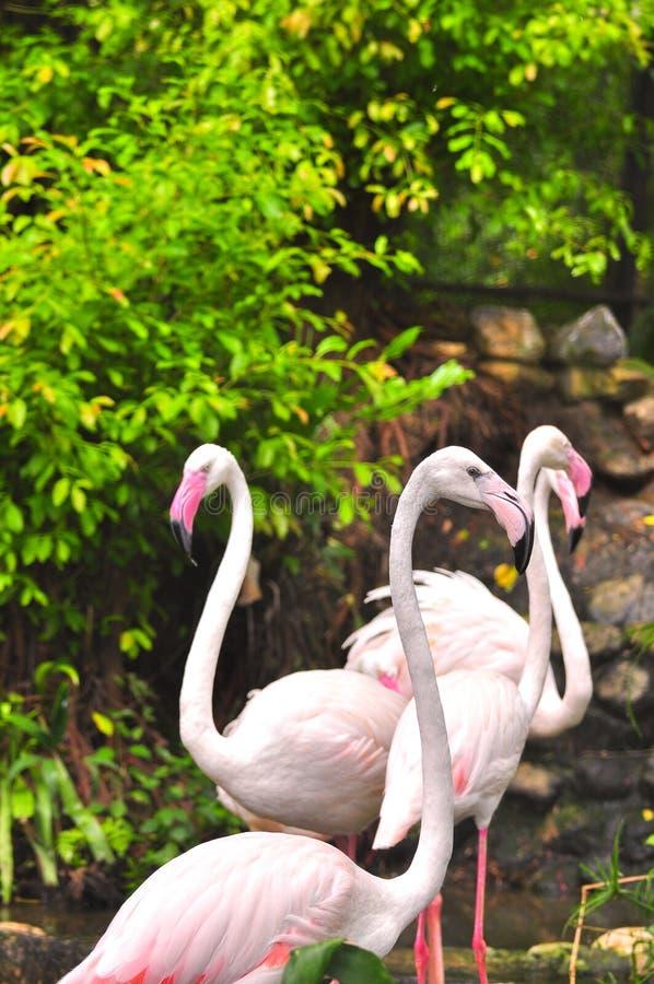 Большой фламинго стоковые фотографии rf
