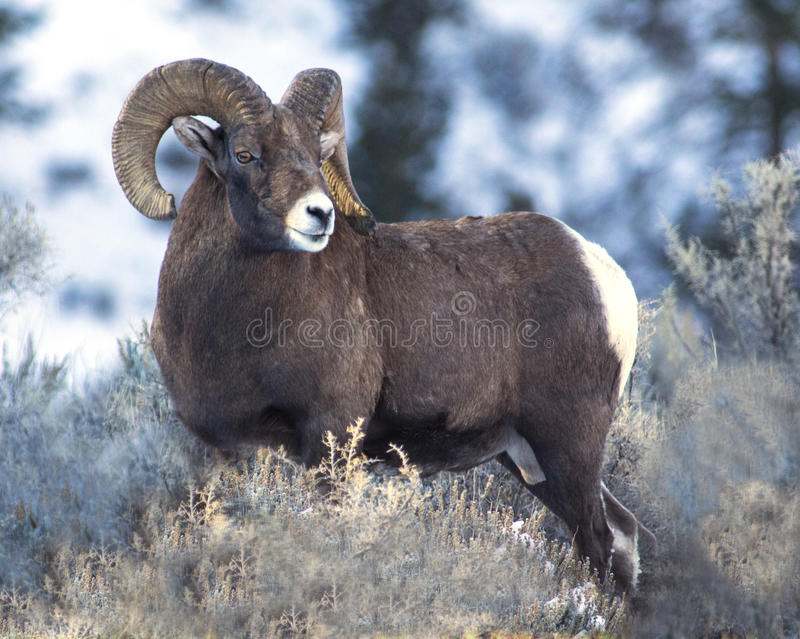 Большой штоссель овец Горна стоковая фотография rf