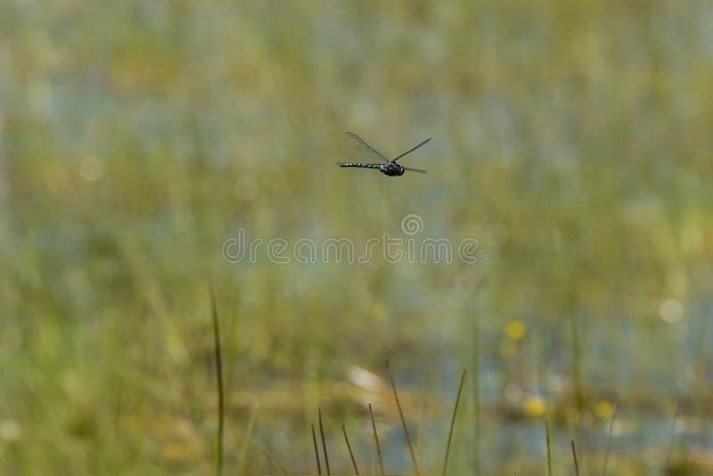 Большой Dragonfly Канады более Darner в полете стоковые изображения