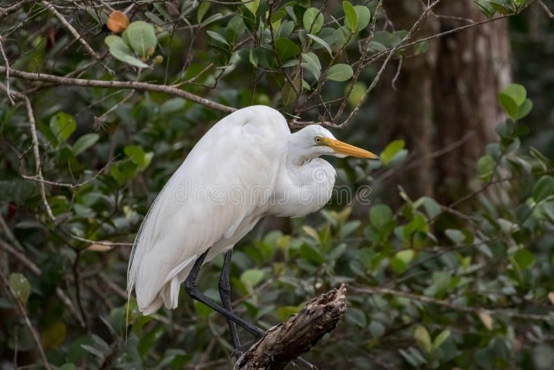 Большой Egret, большой заповедник Cypress национальный, Флорида стоковое изображение