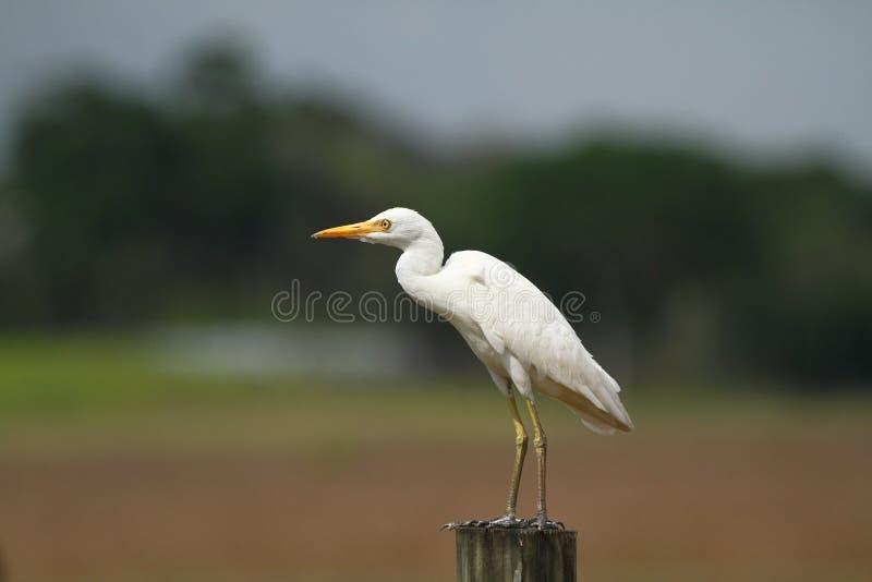 Большой Egret, общий Egret, большой Egret, цапля большой белизны - Ardea alba стоковое фото rf
