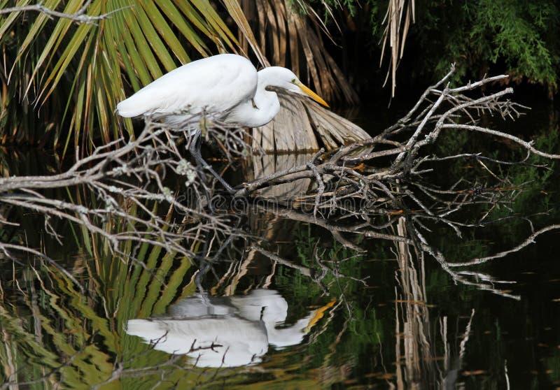 Большой Egret стоковые фото