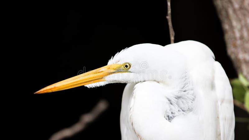 Большой Egret (Ardea Alba), большой заповедник Cypress национальный, Флорида стоковое изображение rf