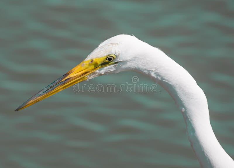 Большой Egret - Ardea alba, выстрел в голову стоковые изображения rf