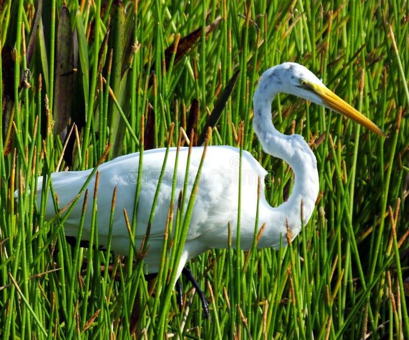 Большой Egret (ardea alba) стоковые изображения