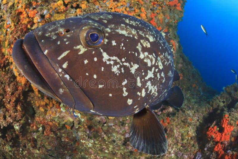большой grouper стоковые изображения