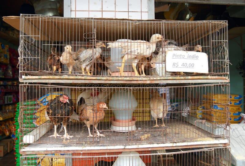 Бразилия, Манаус: Цыплята для продажи стоковые изображения rf