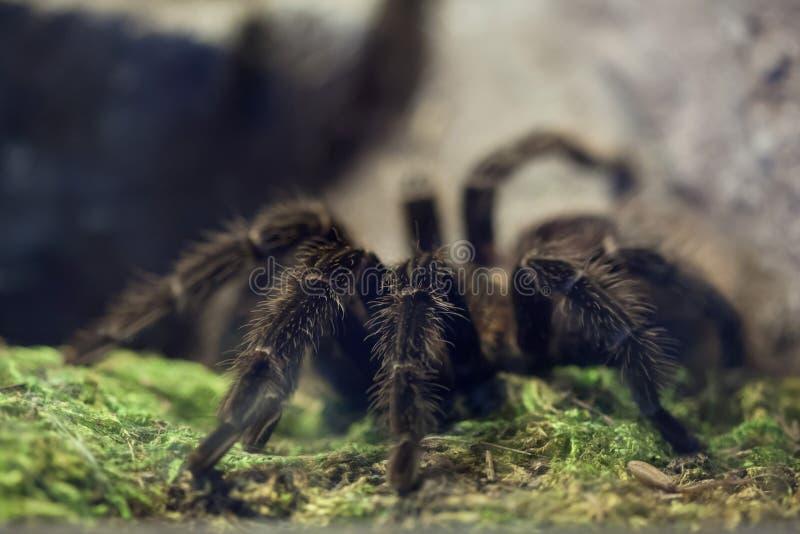 Бразильский тарантул птиц-еды salmon пинка & x28; Lasiodora parahyban стоковое изображение