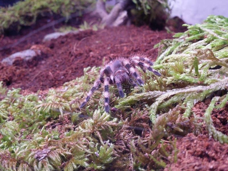 Бразильский черно-белый тарантул Birdeater стоковое изображение
